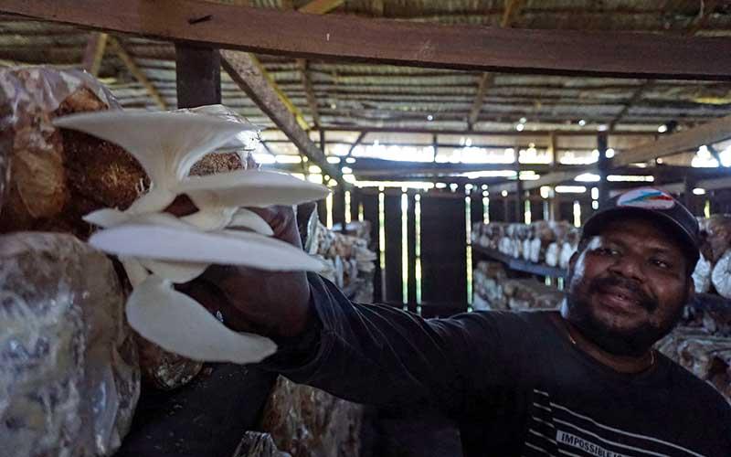 Petani Jamur tiram (Pleurotus ostreatus) Franky Duwit memanen jamur di Kabupaten Sorong, Papua Barat, Sabtu (31/10/2020). Franky menjadi salah satu orang asli Papua yang fokus dalam pengembangan jamur tiram di Papua Barat dengan omset bulanan mencapai puluhan juta rupiah. ANTARA FOTO/Olha Mulalinda