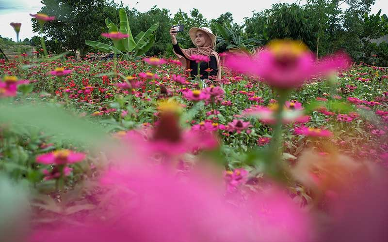 Warga berkunjung ke Kebun Tanaman Bunga Celosia Garden Ake di Sungailiat, Kabupaten Bangka, Kepulauan Bangka Belitung, Sabtu (31/10/2020). Kebun tanaman Bunga Celosia dan Bunga Zenia yang didominasi bunga berwarna kuning, merah dan merah mudah itu itu menjadi tempat wisata dadakan bagi masyarakat di pulau Bangka. ANTARA FOTO/Anindira Kintara