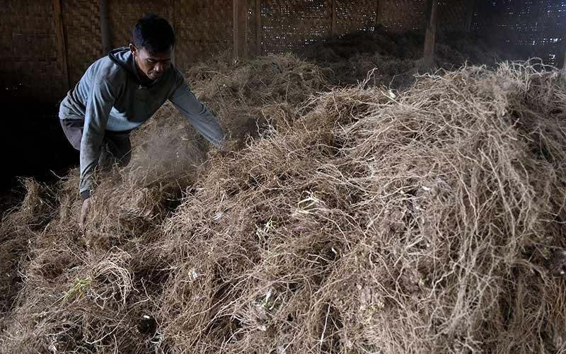 Pekerja menyortir tanaman akar wangi sebelum proses penyulingan menjadi minyak di Samarang, Kabupaten Garut, Jawa Barat, Kamis (19/11/2020). Proses produksi minyak akar wangi (Vetiver Oil) itu mampu menghasilkan lima kg per hari dengan harga jual Rp3 juta - Rp4 juta per kilo gram dan didistribusikan ke berbagai daerah seperti Surabaya, Jakarta dan Bandung untuk bahan baku kesehatan. ANTARA FOTO/Candra Yanuarsyah