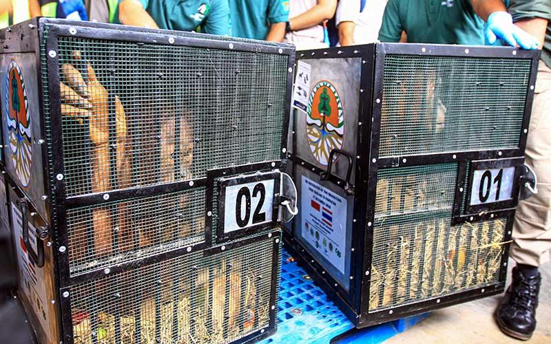 Sebelas Orangutan Hasil Sitaan Perdagangan Ilegal di Luar ...