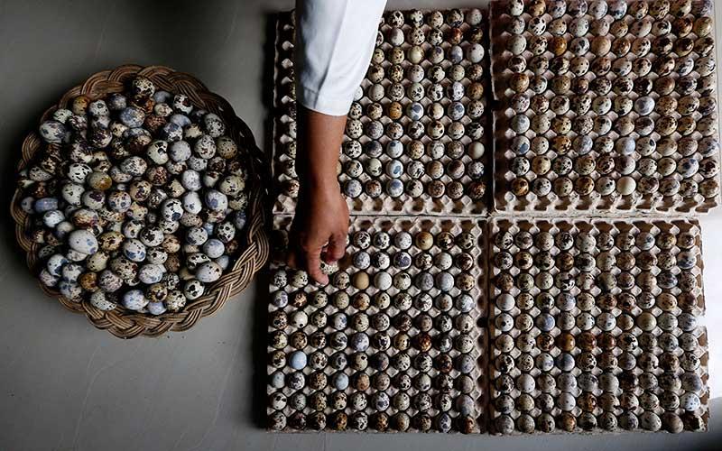 Pekerja menata telur puyuh di salah satu peternakan di Desa Lampeunerut, Aceh Besar, Aceh, Selasa (12/1/2021). Data Asosiasi Peternak Puyuh Indonesia menyebutkan untuk memenuhi permintaan pasar domestik, produksi telur puyuh di seluruh Indonesia telah mencapai 10 juta butir lebih setiap hari dengan harga jual Rp300 hingga Rp500 per butir. ANTARA FOTO/Irwansyah Putra