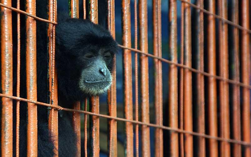 Seekor Siamang (Symphalangus syndactylus) berada di kandang di Kebun Binatang Madiun Umbul Square Kabupaten Madiun, Jawa Timur, Rabu (13/1/2021). Menurut pengelola, kebun binatang tersebut menghadapi kesulitan biaya operasional karena harus menerapkan Pelaksanaan Pembatasan Kegiatan Masyarakat (PPKM) dengan tidak menerima pengunjung pada 11 hingga 25 Januari guna pencegahan penularan Covid-19, sehingga mereka memutuskan untuk melakukan penggalangan donasi guna mencukupi kebutuhan biaya operasional. ANTARA FOTO/Siswowidodo