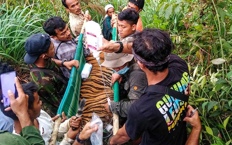 Tim gabungan Balai Konservasi Sumber Daya Alam (BKSDA) Aceh mengevakuasi seekor anak Harimau Sumatera (Panthera Tigris Sumatrae) yang  terkena jerat di Desa Gulo, Darul Hasanah, Aceh Tenggara, Aceh,  Sabtu (23/1/2021). ANTARA FOTO/Faisal Selian
