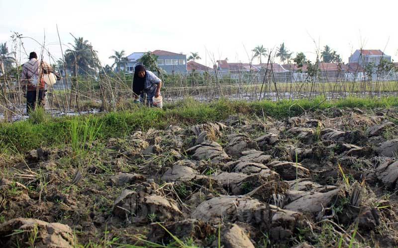 Petani beraktivitas di sawah yang berada di Sungai Lareh, Kecamatan Koto Tangah, Kota Padang, Sumatra Barat, Senin (22/2/2021). Kekeringan yang melanda sejumlah daerah di Provinsi Sumatra Barat pada bulan Februari 2021 ini diperkirakan akan berdampak kepada pengurangan produksi padi dari target sebesar 1,5 juta ton dengan luas panen 557 ribu hektar. Bisnis/Noli Hendra