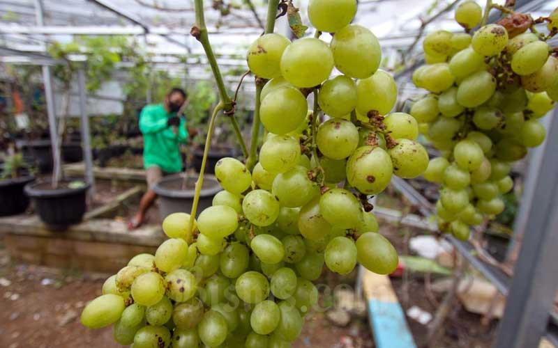 Petani melakukan perawatan pada tanaman anggur di Kebun Imut Sinakal di kawasan Malaka Sari, Duren Sawit, Jakarta Timur, Selasa (23/2/2021). Perkebunan yang diinisiasi oleh masyarakat yang tergabung dalam Grapes Community ini membudidayakan 90 jenis anggur yang menggunakan sistem grafting dengan pemanfaatan madu sebagai Zat Perangsang Tanaman (ZPT) pertumbuhan akar. Kebun seluas 400 meter ini terbuka untuk warga yang ingin mencoba buah tersebut dan membeli berbagai jenis bibit untuk warga yang ingin belajar budi daya anggur. Bisnis/Arief Hermawan P