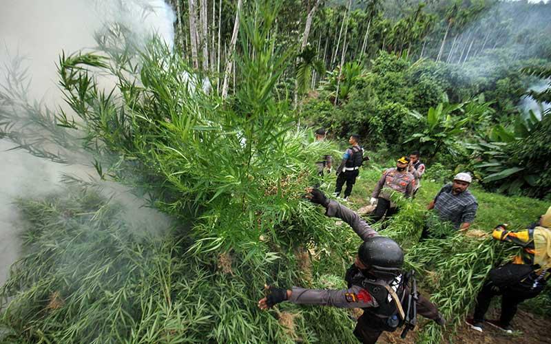 Aparat gabungan, Polisi Polres Lhokseumawe, TNI Kodim 0103 Aceh Utara dan Brimob Detasemen B Polda Aceh membakar tanaman ganja dalam operasi pemusnahan ladang ganja di Dusun Cot Rawatu, Desa Jurong, Sawang, Aceh Utara, Aceh, Rabu (3/3/2021). Dalam operasi tersebut petugas memusnahkan dengan cara membakar 15.000 lebih batang ganja di atas lahan seluas 5 hektar, dan menangkap seorang tersangka pemilik ladang ganja. ANTARA FOTO/Rahmad