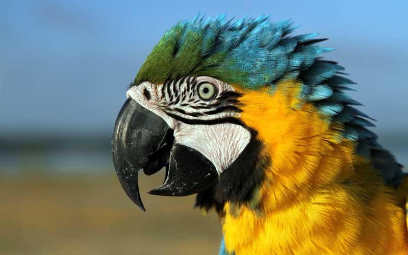 Burung macaw dijemur pemiliknya saat dilatih di sekitar Teluk Kendari, Kendari, Sulawesi Tenggara, Kamis (15/4/2021). Macaw merupakan burung yang memiliki habitat alami di hutan-hutan di wilayah Amerika bagian Utara (Meksiko), Amerika Selatan dan Karibia. ANTARA FOTO/Jojon