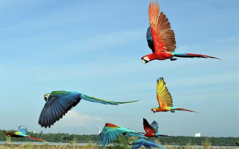 Anggota komunitas Free Fly Kendari melatih burung macaw di sekitar Teluk Kendari, Kendari, Sulawesi Tenggara, Kamis (15/4/2021). Macaw merupakan burung yang memiliki habitat alami di hutan-hutan di wilayah Amerika bagian Utara (Meksiko), Amerika Selatan dan Karibia. ANTARA FOTO/Jojon