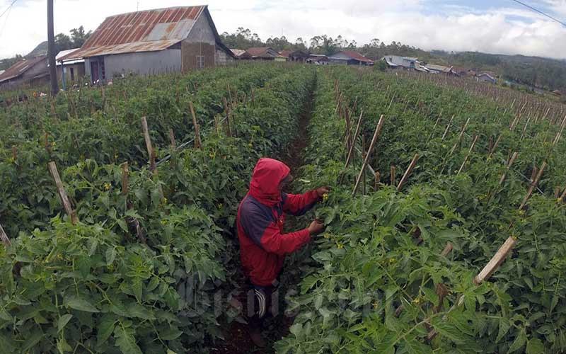 Petani memotong cabang pohon tomat yang tidak produktif di Desa Lembanna, Kabupaten Gowa Sulawesi Selatan, Minggu (16/5/201). Badan dan Pusat Statistik (BPS) mengatakan Nilai Tukar petani (NTP) Gabungan Provinsi Sulawesi Selatan Bulan April 2021 sebesar 98,09 atau turun 0,02 persen dibandingkan dengan NTP Bulan Maret 2021 sebesar 98,11 persen. Bisnis/Paulus Tandi Bone