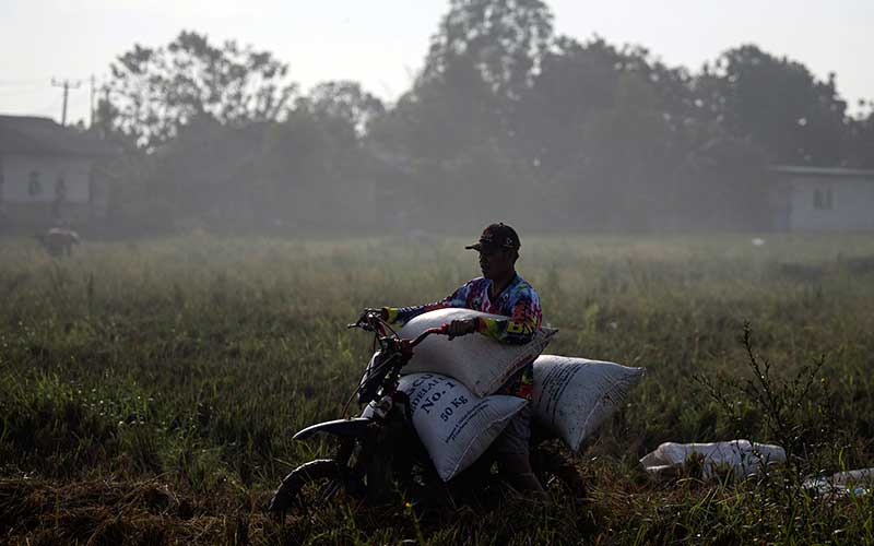 Petani mengangkut karung berisi gabah hasil panen di Desa Kertawaluya, Kabupaten Karawang, Jawa Barat, Selasa (18/5/2021). Perum Bulog memastikan tidak akan impor beras untuk tahun 2021 karena masih terus melakukan penyerapan beras dalam negeri. Sementara itu hingga 17 Mei 2021 stok beras yang ada di Bulog telah mencapai 1.395.376 ton. ANTARA FOTO/Sigid Kurniawan