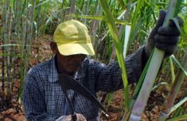 PTPN XI Tambah 2.500 ha Lahan Tebu Tahun Ini