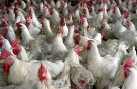Banjir, Pasokan Daging Ayam Anjlok 50%
