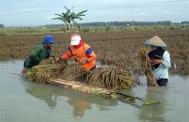 Dampak Banjir, 4.000 Ha Areal Padi di Cirebon Rusak Berat