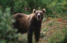 Beruang Terkam Seorang Ibu Rumah Tangga di Sarolangun Jambi