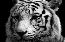 KBS: Harimau Putih Mati, Bangkainya Dibakar