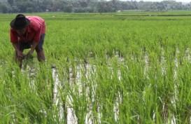 238.000 Ha Lahan Pertanian di Jawa Tergenang Banjir