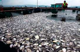 Kelud Meletus, Ribuan Ikan Mati di Bantul