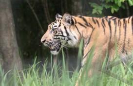 Hutan Riau Terbakar, Harimau Sumatra Keluar Hutan