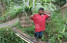 Ternak Sapi Korban Kelud Dapat Bantuan Hijauan 500 ton
