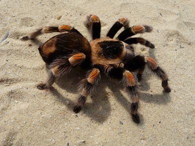 Tarantula. - en.wikipedia.org
