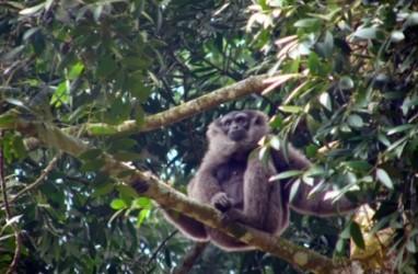 Hewan Langka: Pengelola TNGP Lepasliarkan Empat Owa Jawa