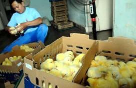 Pengusaha Unggas Mengeluh, Minta Pemerintah Tekan Harga DOC Ayam