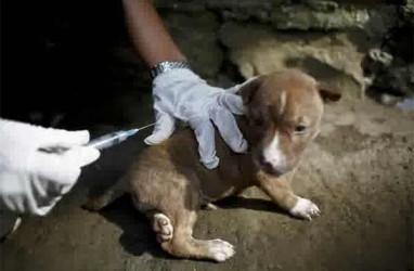 BALI BEBAS RABIES: Anjing Harga Puluhan Juta Pun Disuntik Mati