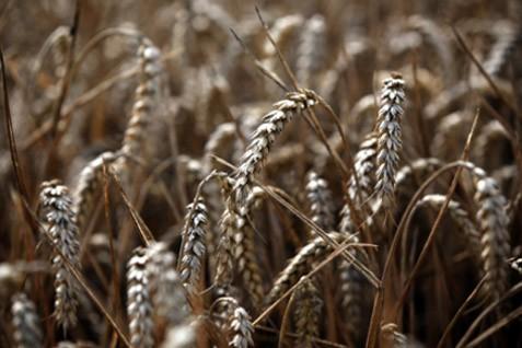 Gandum siap panen. Harga diprediksi melorot karena hujan diprediksi turun - Reuters