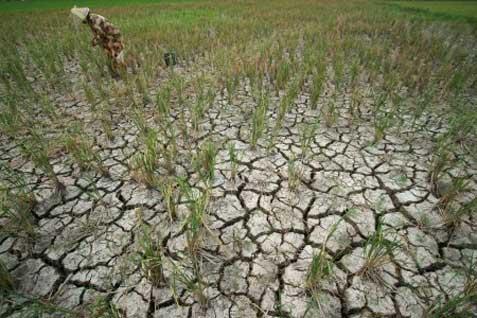 Ilustrasi lahan pertanian yang kekeringan. Gejala kehadiran El-Nino melonjak yang berdampak potensi kekeringan di Asia naik.  -  Bisnis.com