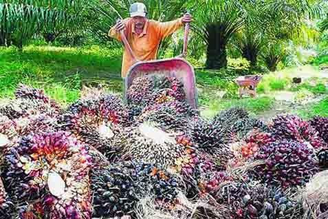 Panen sawit. Harga CPO ditutup anjlog di bursa Malaysia - Bisnis