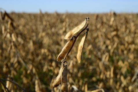 Pertanian kedelai. Harga terdongkrak meningkatnya permintaan ekspor - JIBI