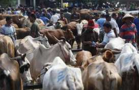 60.000 Ekor Sapi NTT 'Diekspor' Ke DKI dan Kalimantan Setiap Tahun