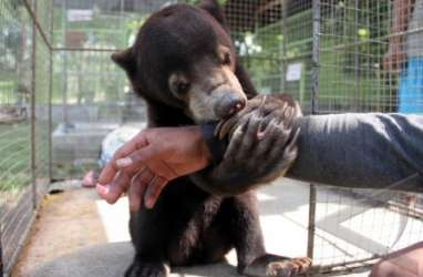 Beruang Madu Ditemukan di Semenanjung Kampar Riau