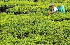 LIBUR LEBARAN: Sejuknya Kebun Teh Ditemani Kopi Panas dan Mie Instant