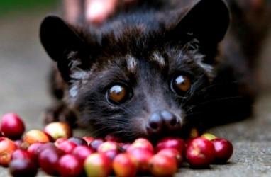 Paten Kopi Luwak: Pemerintah Didesak Yakinkan FAO