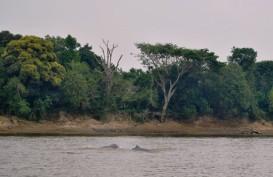 Pesut Mahakam Terancam Punah, Kini Diprediksi Tersisa 92 Ekor