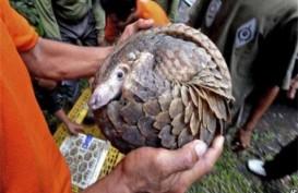 HEWAN LANGKA: Wildlife Umumkan Kelahiran Trenggiling Sunda Asli Singapura