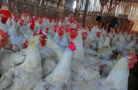 Peternak Ayam Di Indonesia Pesimistis