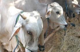 UGM: Diselingkuhi Brahman, Tak Ada Sapi Lokal Murni…