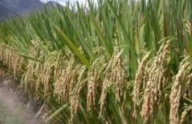 Musim Tanam Oktober: Produksi Padi Ditargetkan Naik 5%-10%