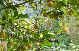 REKOR MURI: Aceh Akan Tanam 50.000 Pohon Pala