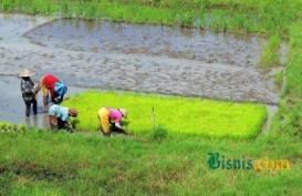 SWASEMBADA PANGAN: Pengadaan Bibit & Perbaikan Irigasi Tersier Ditunjuk Langsung, Tak Perlu Tender
