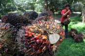 Gula Merah Ini Dibuat dari Pohon Kelapa Sawit