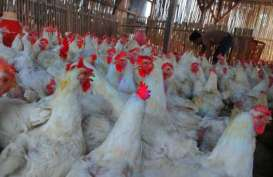Balitnak Buka Peluang Pembibitan Ayam SenSi-1 Agrinak