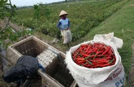 Petani Cabai Balikpapan Agar Bermitra Dengan Perusahaan Pengolahan