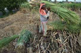 Pabrik Gula Tutup, Petani di Kendal Tak Lagi Tanam Tebu