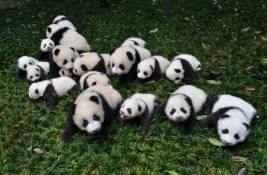 Penjelasan Pakar Mengapa Panda Berwana Putih & Hitam
