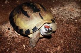 Kura-kura Eksotis dari Kalsel, Tuntong Laut, di Ambang Kepunahan