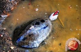 Kura-kura Di Kalsel Ini Paling Terancam di Dunia