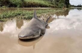 Hiu Masuk Permukiman Warga di Australia Terseret Banjir